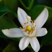 flordeazahar