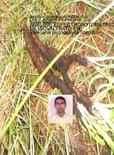 ANÁLISIS ESPECTROFOTOMÉTRICO DE ISOVALTRATO EN Valeriana prionophylla Standl.